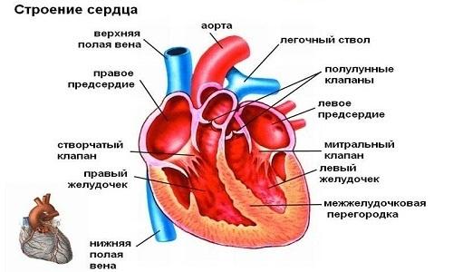 Шумы в сердце у ребёнка: причины, симптомы, лечение, прогнозы