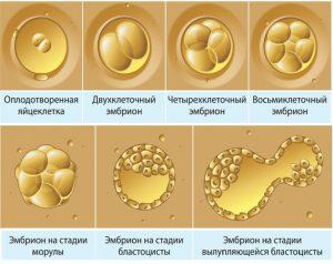эмбрион
